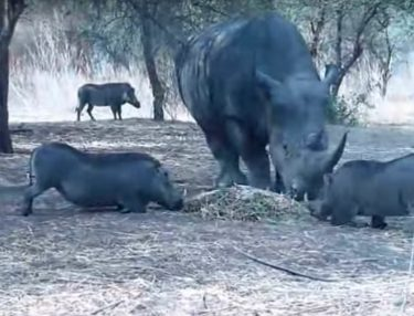 Who Said Pigs Can't Fly? Rhino Destroys a Warthog